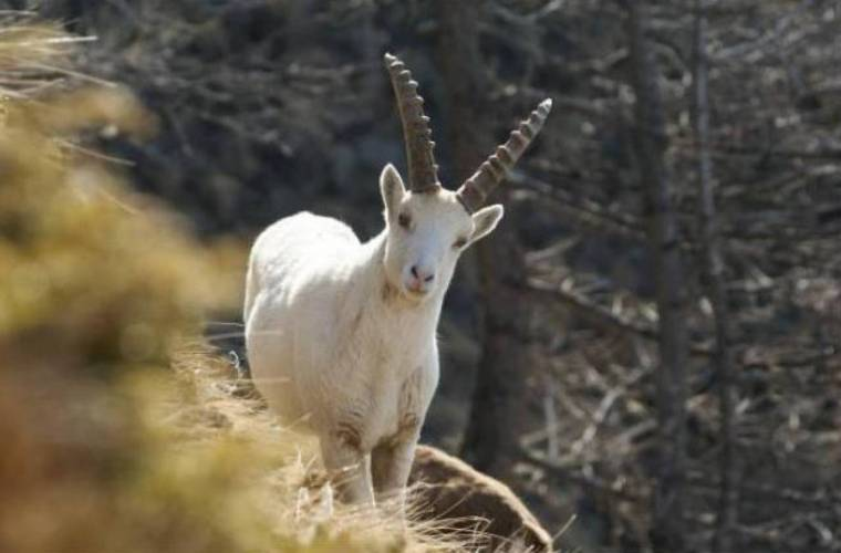 lo-stambecco-bianco--fonte-immagine-regione-vda-it-3bmeteo-72454